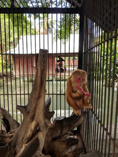 Con khỉ vàng ăn thanh long, dễ thương quá!